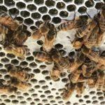 honey bees*